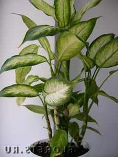 Цветы диффенбахия: фото, уход в домашних условиях