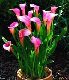 Описание цветок калла
