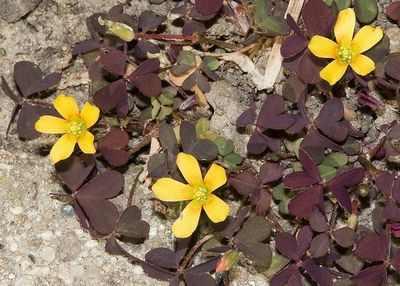 Растение кислица фото