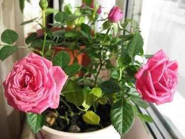 Почему комнатная роза не цветёт