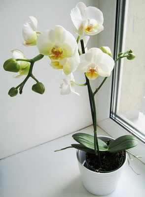 Условия для пышного цветения орхидеи