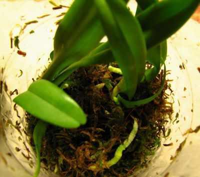 Орхидеи в вазе и колбе, уход и выращивания