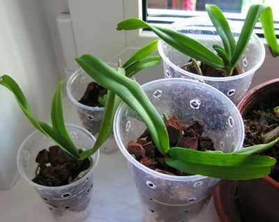 Орхидеи в вазе и колбе, уход и выращивания 71