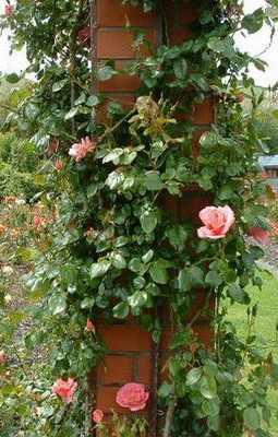 Мініатюрні троянди сорту з фото