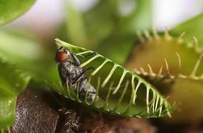 Картинки по запросу Плотоядные растения, предпочитающие насекомых