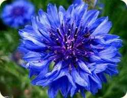 фото василек синий