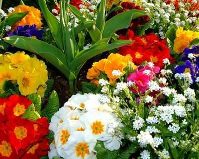 квіти примула