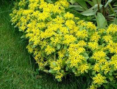 Почвопокровные Растения для выращивания в саду