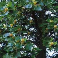 Тюльпанное дерево Лириодендрон тюльпановый Растения для выращивания в саду