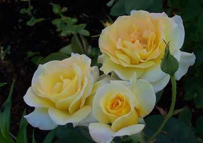 Роза утро москвы