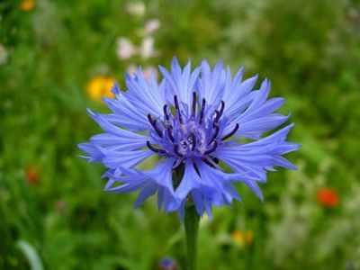 цветок василёк картинка