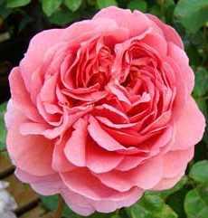 Современные садовые розы modern garden roses